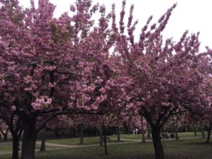 A few days left to see the Cherry blossoms at the Brooklyn Botanic Garden
